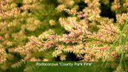 Podocarpus 'County Park Fire'