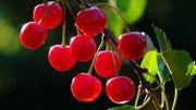 Plantez des cerisiers !