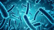 Le microbiote intestinal fait le poids!