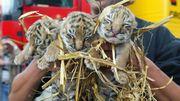 Chine: des bébés tigres de Sibérie se font bichonner...
