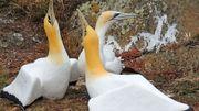 """Décès en Nouvelle-Zélande de Nigel, """"l'oiseau le plus seul du monde"""""""