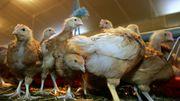Verviers: la maladie de Newcastle détectée chez des poules d'ornement