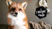 L'instant cute : Juniper, la renarde espiègle