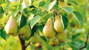 Que faire pour que les fruitiers produisent à profusion ?