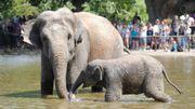 La rencontre privée avec les éléphants du parc Pairi Daiza adjugée à 2500€
