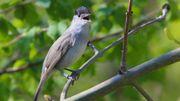la fauvette à tête noire, un petit oiseau discret