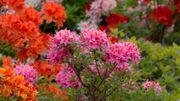La plante du mois : le rhododendron