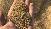 La récolte du millet, qui servira notamment dans des plats végétariens transformés.