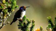 Un colibri émerveille la science avec son chant de contre-ténor en Équateur