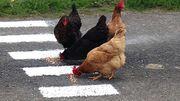 Il laisse ses poules courir sur la route pour ralentir la circulation