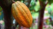 Pourquoi mange-t-on si peu de chocolat en Côte d'Ivoire ?