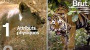 Tigre vs lion : Quel est le meilleur chasseur?