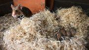 Un grand hamster d'Alsace et sa progéniture, à Jungholtz, le 23 juillet 2020.