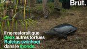Les tortues géantes à carapace molle, une espèce proche de l'extinction