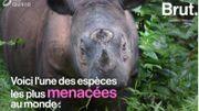 Les rhinocéros de Sumatra pourront-ils échapper à l'extinction?