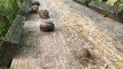 Bientôt l'heure de l'hibernation pour les escargots