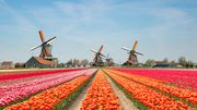 Les champs de tulipes aux Pays-Bas