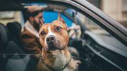 Un chien kidnappé fait 3200km avec 30 personnes pour rentrer chez lui