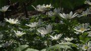 Un véritable amour de plantes que cette Anemone blanda 'White Splendour'
