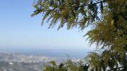 Le mimosa, la fleur dorée devenue symbole de la Côte d'Azur