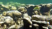 Australie: nouvelle vague inquiétante de blanchiment des récifs coralliens