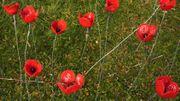 Des coquelicots au Jardin botanique de Meise pour les 100 ans de la Grande guerre