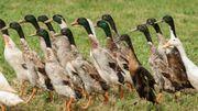 Adalia: Que sont les canards coureurs indiens?