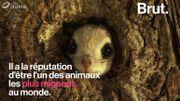 L'écureuil volant du Japon, l'animal réputé comme étant le plus mignon au monde
