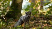 La couleur de l'animal change en fonction des saisons pour s'adapter à son milieu.