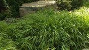 Amour de plante : l'hakonechloa venu du pays du Soleil Levant