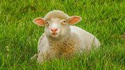Que mangent les poules, les moutons ? Comment traire une vache ?