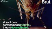 Qu'arriverait-il si les moustiques venaient à disparaître?