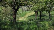Apple Blossom Blooms At Glastonbury Abbey
