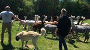 Éric et Laurence s'occupe de déplacer le troupeau d'alpaguettes avec leur chien