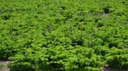 L'Union Ardennaise des pépiniéristes a recensé 3120 hectares de cultures de sapins de Noël en Belgique. Mais la grande majorité est produite en Wallonie. 80% des arbres produits sont exportés.