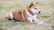 Le chien Japonais Akita connait un engouement international
