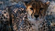 De 10.000 en 1900, le monde des guépards s'est réduit à quelques 8000 individus aujourd'hui.