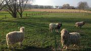 Dans le Pays des Collines, beaucoup de particuliers élèvent des moutons
