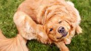 Focus sur les problèmes de peau chez le chien