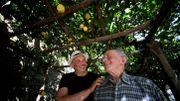 """Dans les jardins en terrasse italiens, les cultivateurs """"héroïques"""" de citrons"""