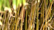 Éradiquer les plantes invasives dans nos jardins avec Bambou Solutions