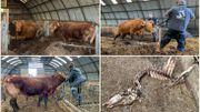 Frasnes-lez-Anvaing : deux bovins enfermés dans une grange au milieu de cadavres d'animaux