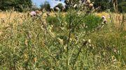 Des herbes folles, les abeilles en raffolent