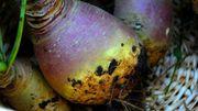 Lexique de Candice : Les légumes oubliés - qui, quoi, comment?