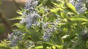 Un amour de plantes : l'Amsonia orientalis