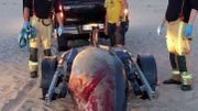 La baleine à bec morte a été évacuée de la plage de Wenduine le soir même, le 7 août 2020