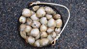 Une perle dans une palourde, presque pas si étonnant que ça?