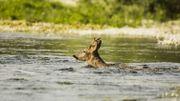 Insolite: un chevreuil nage dans le golfe du Morbihan