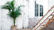 Plante d'intérieur du mois: le kentia