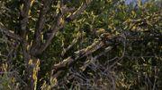 Des millions de criquets ravagent l'Afrique de l'Est, la plus grande épidémie depuis 70 ans